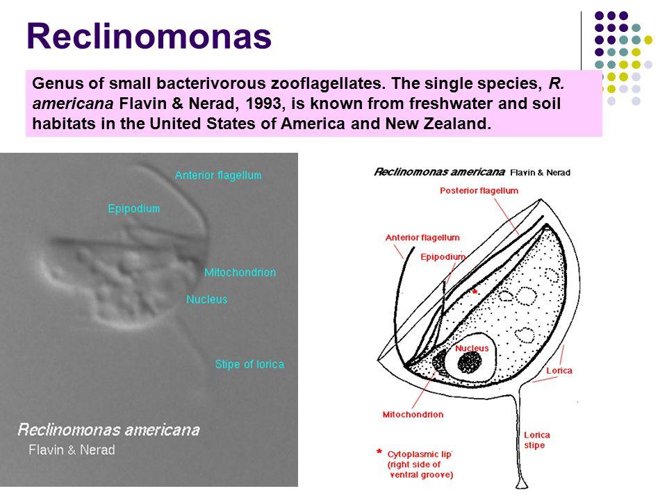 Reclinomonas Genus of small bacterivorous zooflagellates.