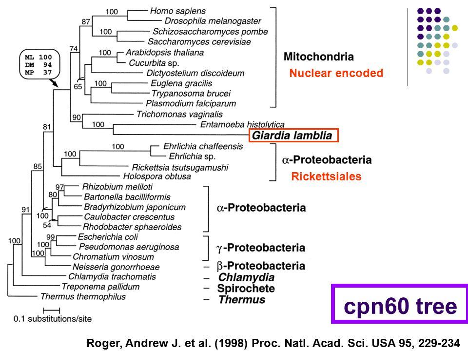 cpn60 tree Roger, Andrew J. et al. (1998) Proc. Natl.