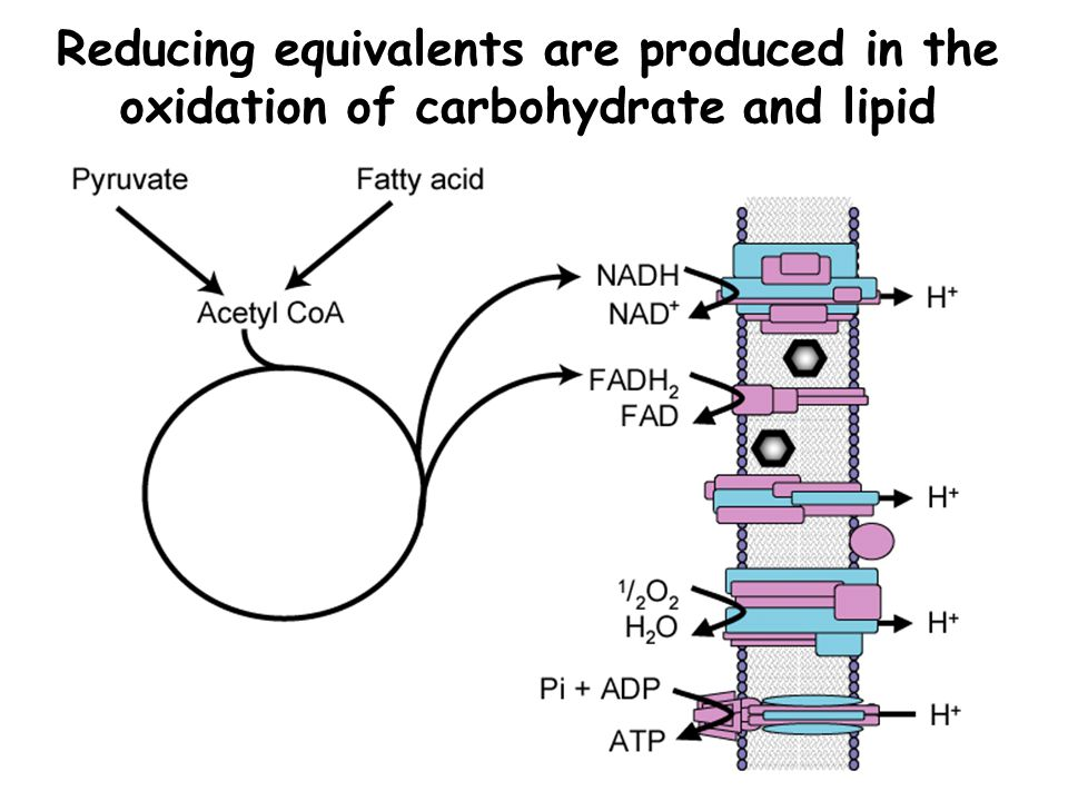 Reducing equivalents are produced in the oxidation of carbohydrate and lipid