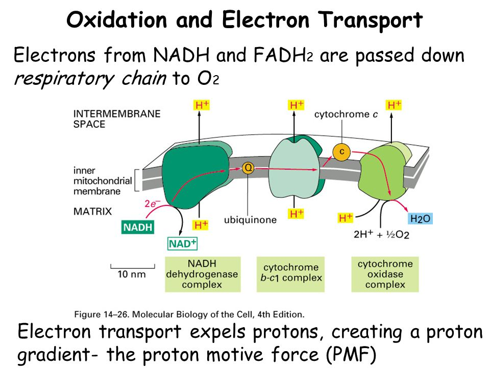 Oxidation and Electron Transport Electrons from NADH and FADH 2 are passed down respiratory chain to O 2 Electron transport expels protons, creating a