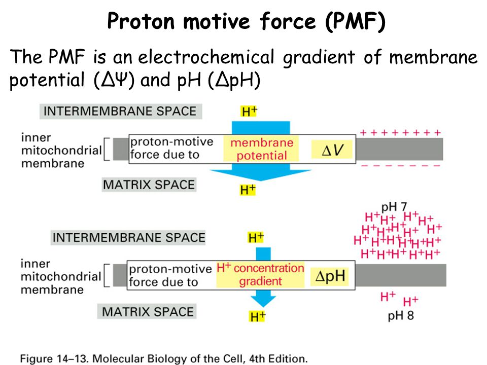 Proton motive force (PMF) The PMF is an electrochemical gradient of membrane potential (ΔΨ) and pH (ΔpH)