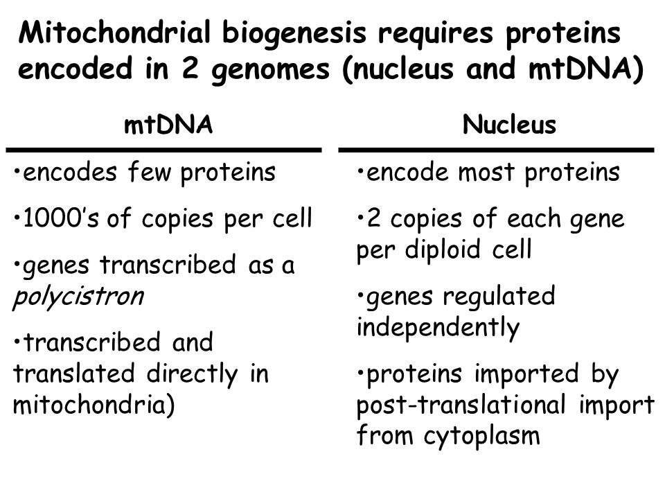 Mitochondrial biogenesis requires proteins encoded in 2 genomes (nucleus and mtDNA) Nucleus encode most proteins 2 copies of each gene per diploid cel