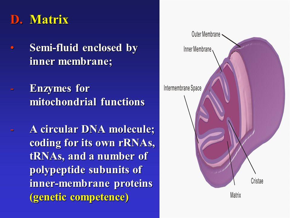 5 D.Matrix Semi-fluid enclosed by inner membrane;Semi-fluid enclosed by inner membrane; -Enzymes for mitochondrial functions -A circular DNA molecule;