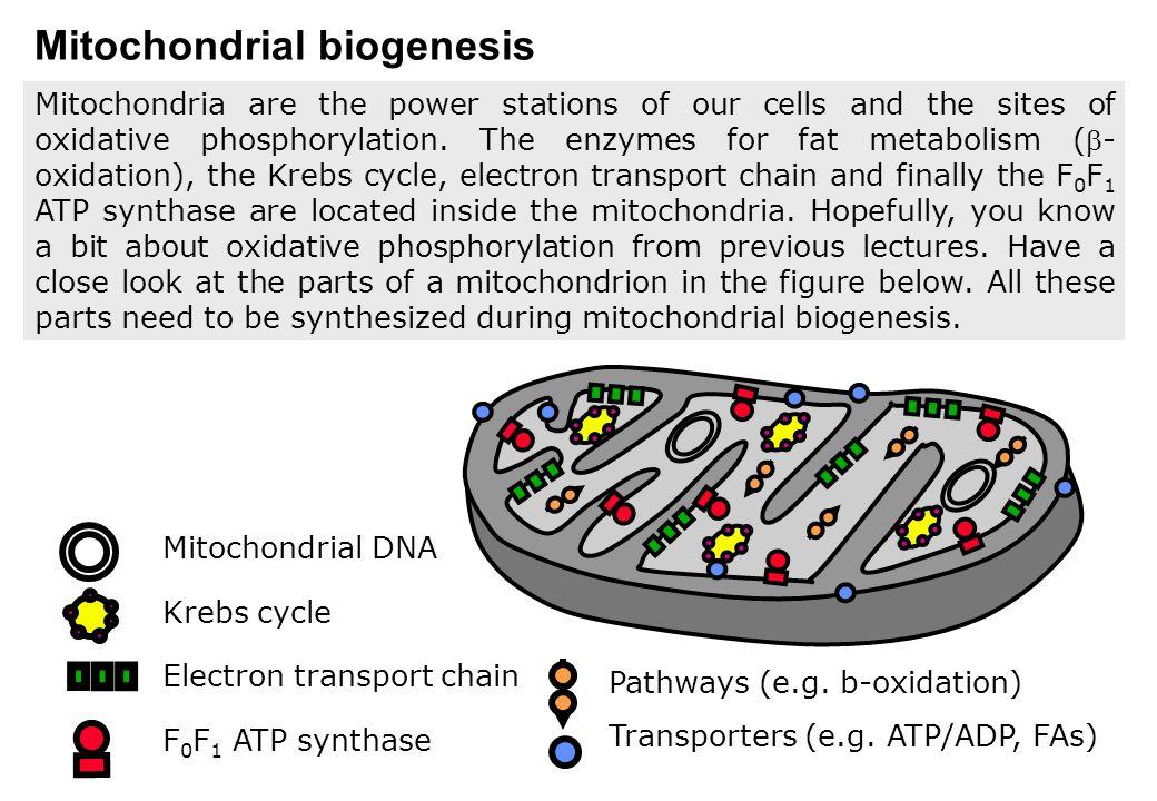 PGC-1 and mitochondrial biogenesis .