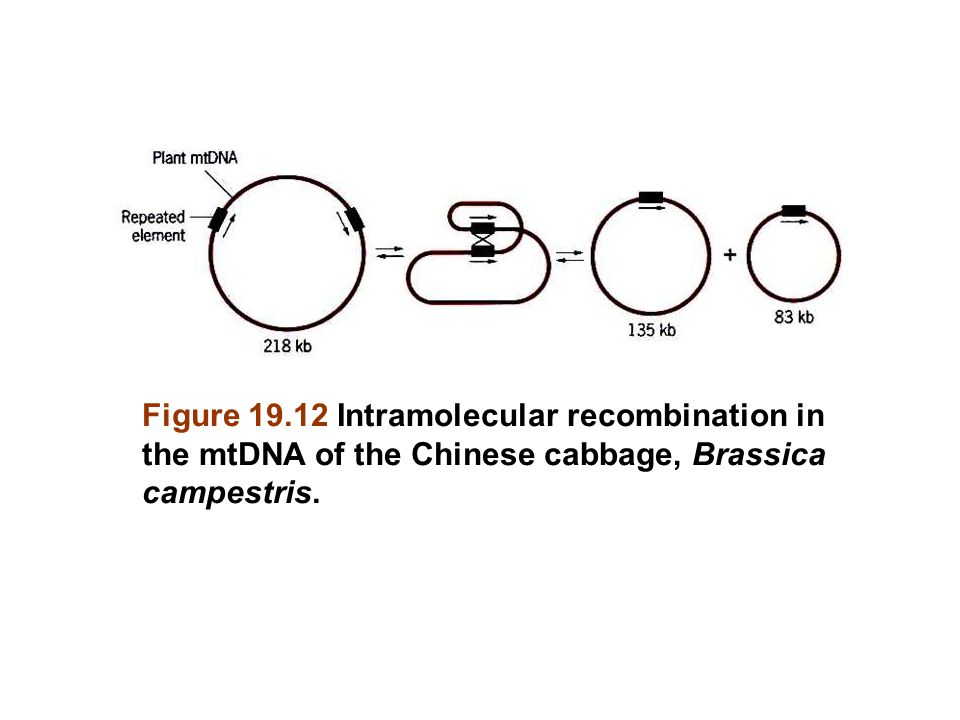 Figure 19.12 Intramolecular recombination in the mtDNA of the Chinese cabbage, Brassica campestris.