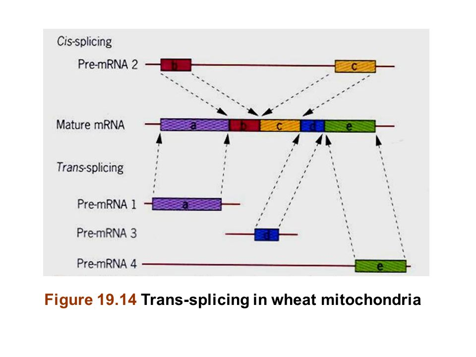 Figure 19.14 Trans-splicing in wheat mitochondria