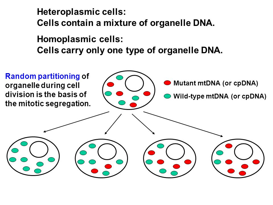 Heteroplasmic cells: Cells contain a mixture of organelle DNA.
