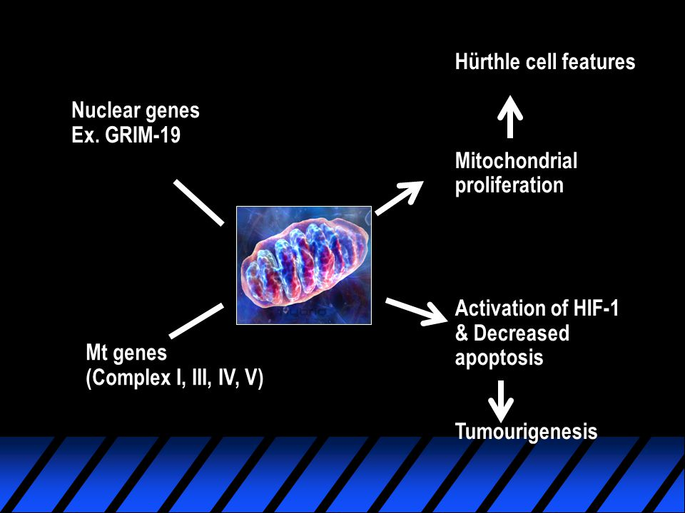 Nuclear genes Ex. GRIM-19 Mt genes (Complex I, III, IV, V) Hürthle cell features Mitochondrial proliferation Activation of HIF-1 & Decreased apoptosis