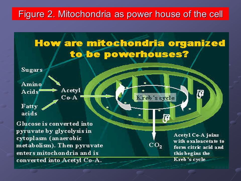 Figure 2. Mitochondria as power house of the cell