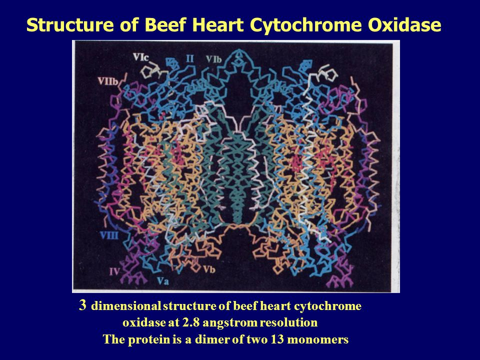 Structure of Beef Heart Cytochrome Oxidase The protein is a dimer of two 13 monomers 3 dimensional structure of beef heart cytochrome oxidase at 2.8 angstrom resolution