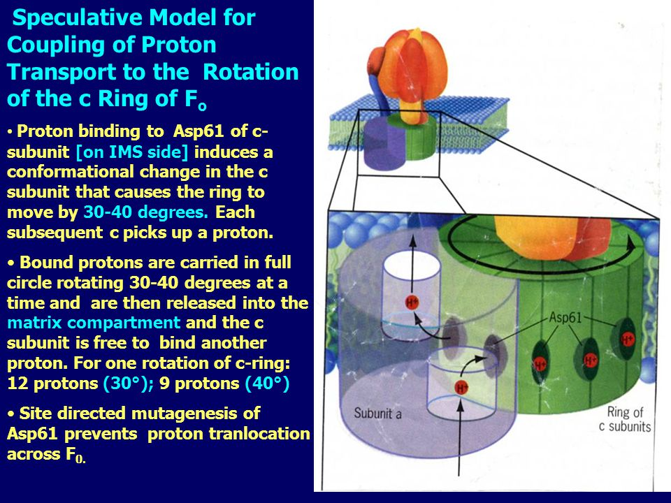 Speculative Model for Coupling of Proton Transport to the Rotation of the c Ring of F o Proton binding to Asp61 of c- subunit [on IMS side] induces a conformational change in the c subunit that causes the ring to move by 30-40 degrees.
