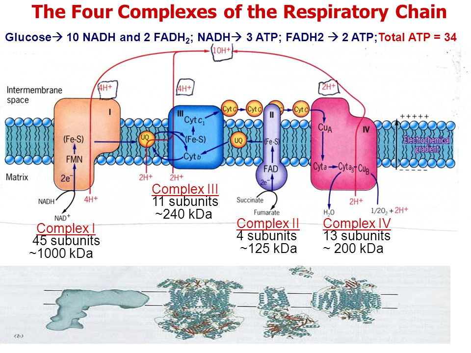 Glucose  10 NADH and 2 FADH 2 ; NADH  3 ATP; FADH2  2 ATP;Total ATP = 34 The Four Complexes of the Respiratory Chain Complex I 45 subunits ~1000 kDa Complex III 11 subunits ~240 kDa Complex II 4 subunits ~125 kDa Complex IV 13 subunits ~ 200 kDa