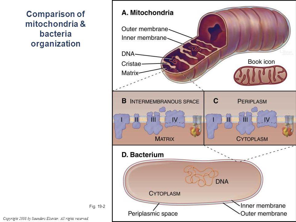 Comparison of mitochondria & bacteria organization Fig.