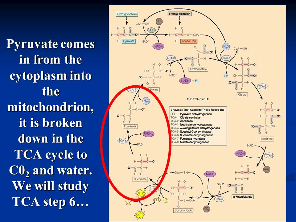 Pyruvate comes in from the cytoplasm into the mitochondrion, it is broken down in the TCA cycle to C0 2 and water.