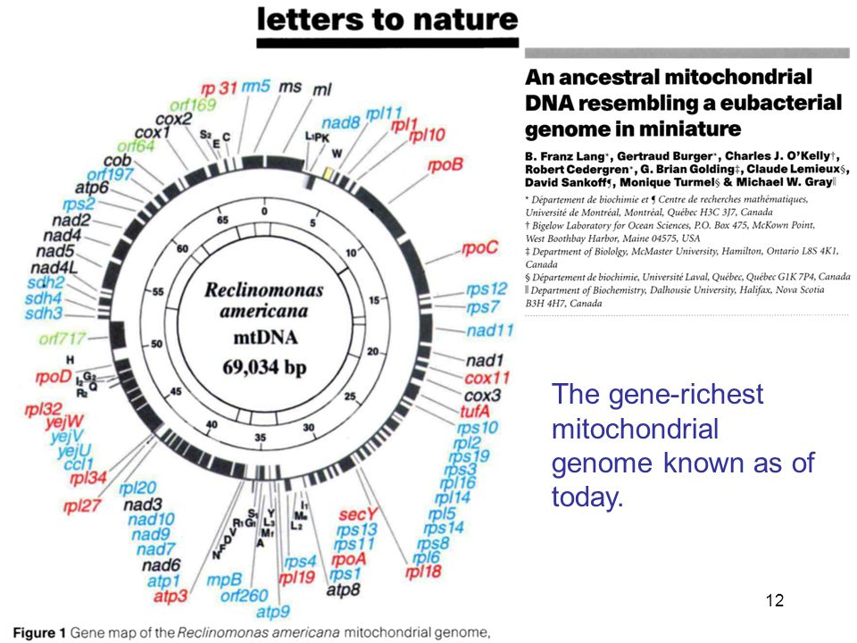12 The gene-richest mitochondrial genome known as of today.
