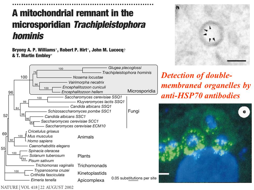 28 Detection of double- membraned organelles by anti-HSP70 antibodies