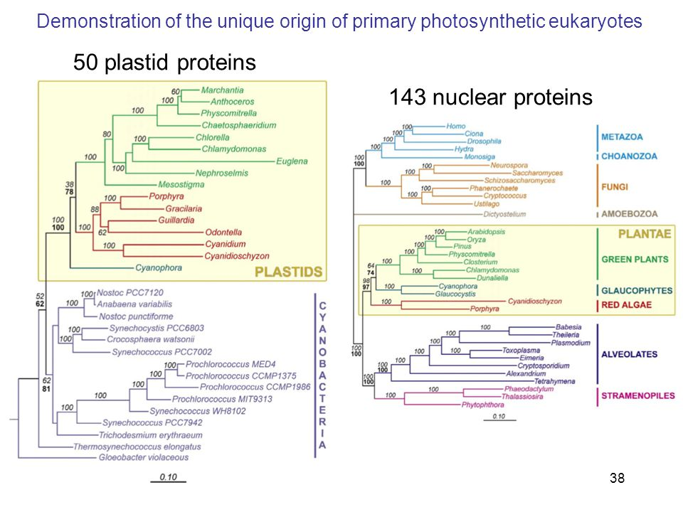 38 50 plastid proteins 143 nuclear proteins Demonstration of the unique origin of primary photosynthetic eukaryotes