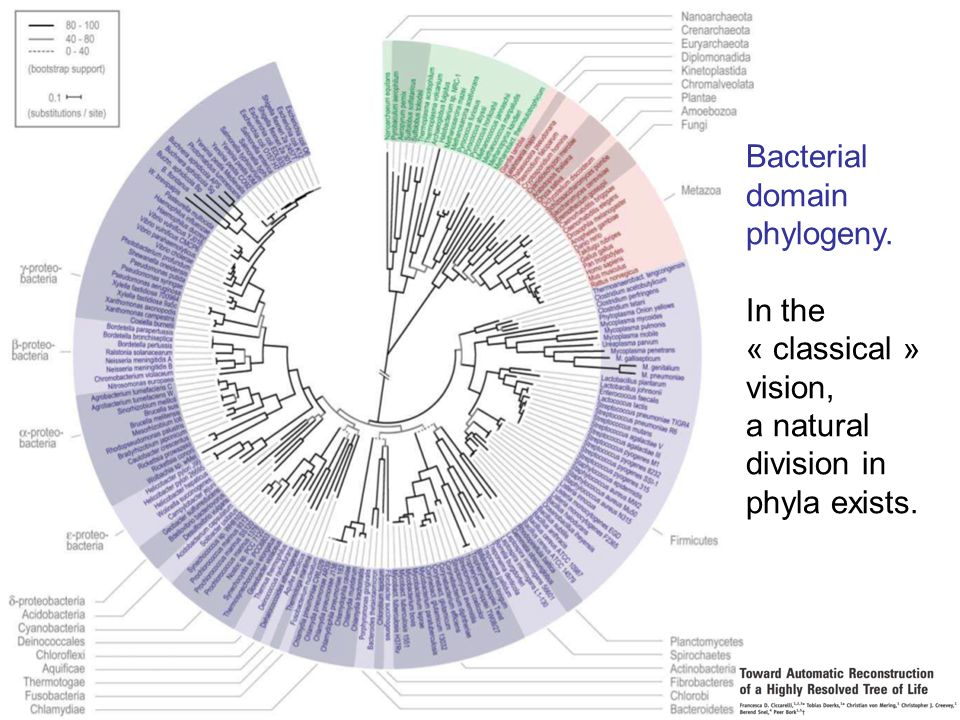 45 Bacterial domain phylogeny. In the « classical » vision, a natural division in phyla exists.