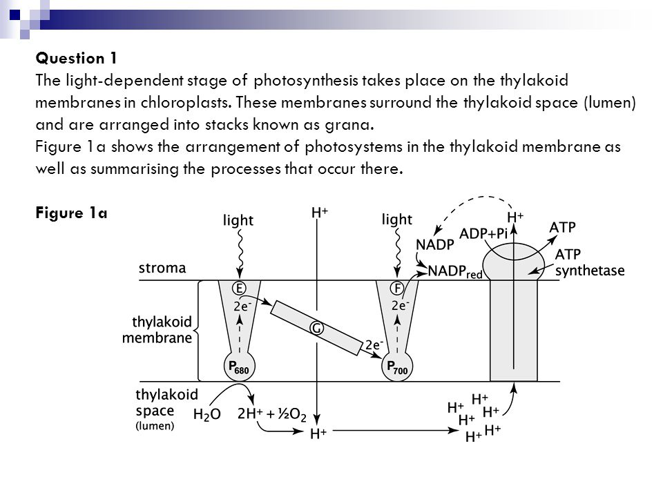 Question 1 The light-dependent stage of photosynthesis takes place on the thylakoid membranes in chloroplasts.