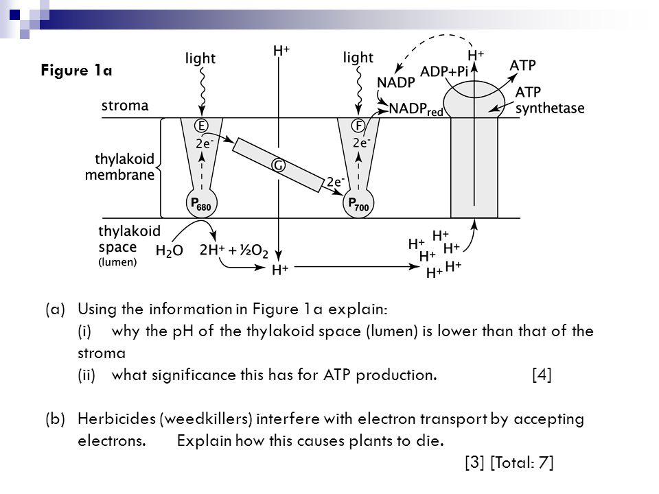 (a)Using the information in Figure 1a explain: (i)why the pH of the thylakoid space (lumen) is lower than that of the stroma (ii)what significance this has for ATP production.