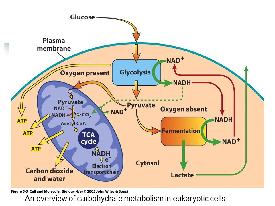 Pyruvate + HS-CoA + NAD + → acetyl CoA + CO 2 + NADH + H + In matrix