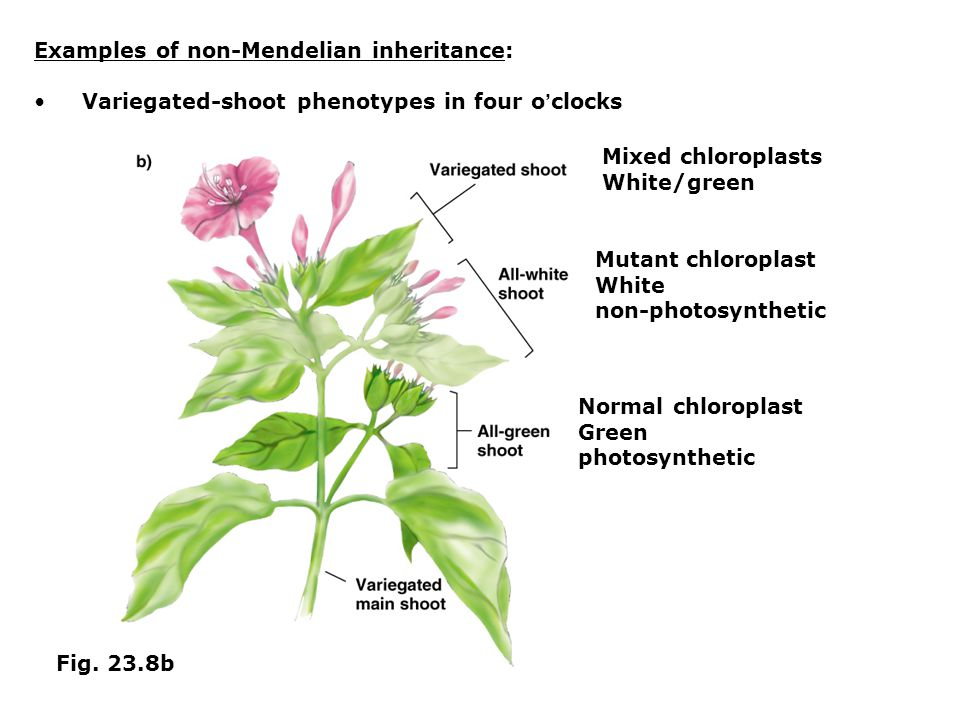 Examples of non-Mendelian inheritance: Variegated-shoot phenotypes in four o ' clocks Fig. 23.8b Normal chloroplast Green photosynthetic Mutant chloro