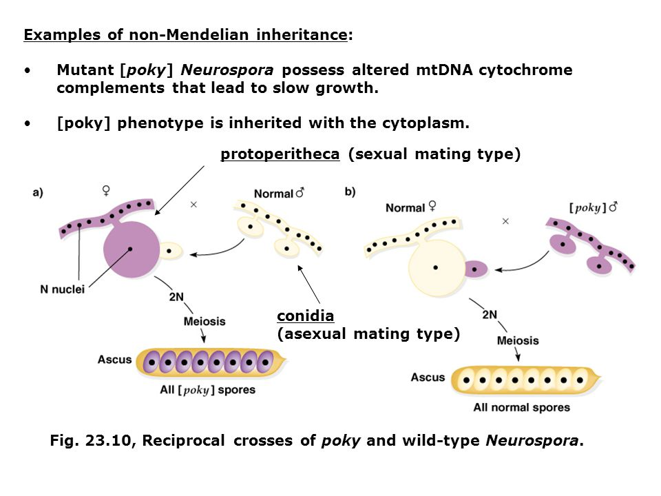Examples of non-Mendelian inheritance: Mutant [poky] Neurospora possess altered mtDNA cytochrome complements that lead to slow growth. [poky] phenotyp