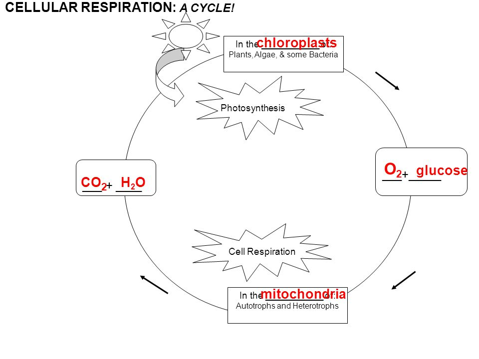 In the ___________ of: Autotrophs and Heterotrophs In the ___________ of: Plants, Algae, & some Bacteria ___+_____ ___ + ____ PHOTOSYNTHESIS AND CELLULAR RESPIRATION: A CYCLE.