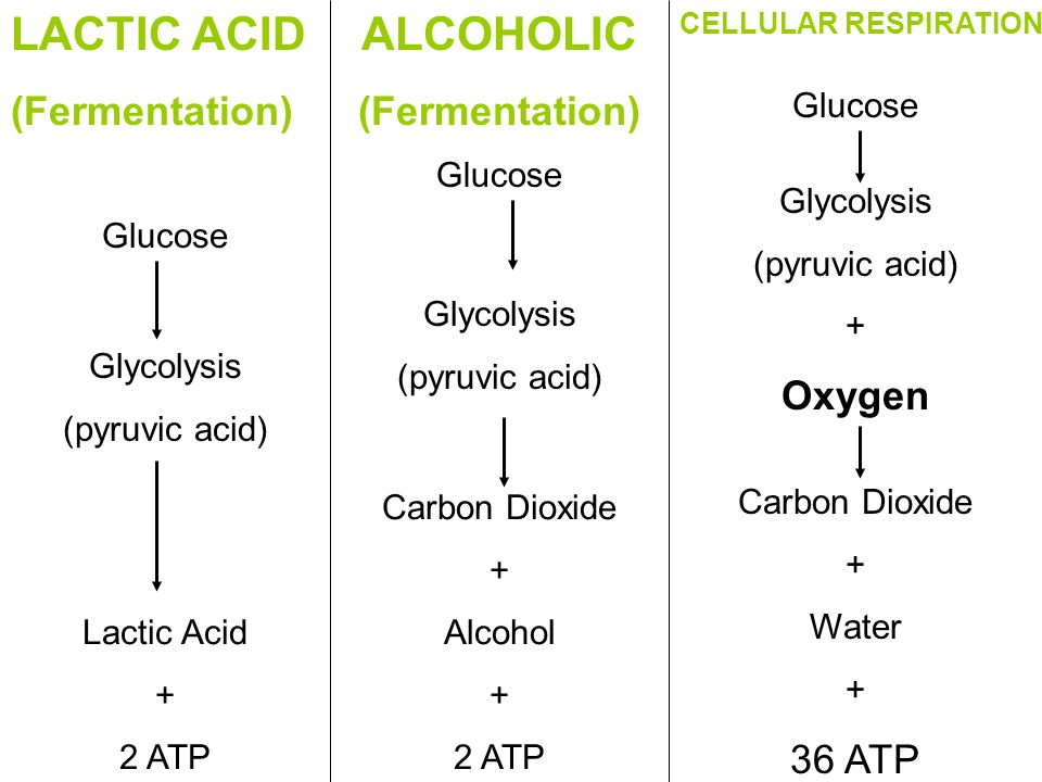 LACTIC ACID (Fermentation) Glucose Glycolysis (pyruvic acid) Lactic Acid + 2 ATP Carbon Dioxide + Alcohol + 2 ATP Carbon Dioxide + Water + 36 ATP Glycolysis (pyruvic acid) Glycolysis (pyruvic acid) + Oxygen Glucose CELLULAR RESPIRATION ALCOHOLIC (Fermentation)
