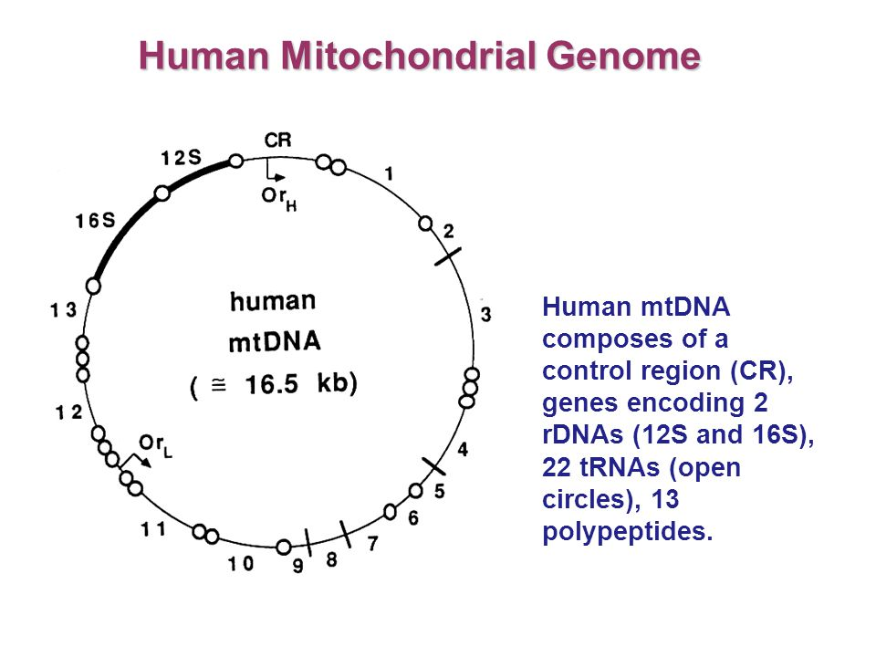 Human Mitochondrial Genome Human mtDNA composes of a control region (CR), genes encoding 2 rDNAs (12S and 16S), 22 tRNAs (open circles), 13 polypeptid