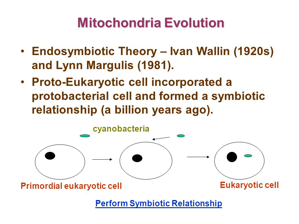 Mitochondria Evolution Endosymbiotic Theory – Ivan Wallin (1920s) and Lynn Margulis (1981).