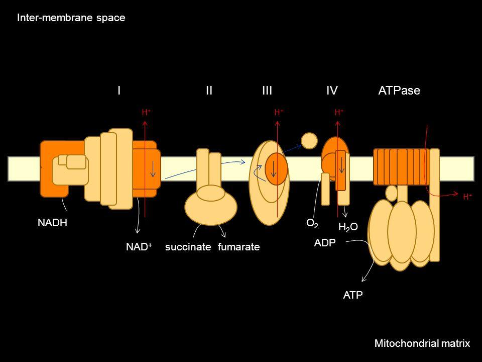 IIIIIIIVATPase Mitochondrial matrix Inter-membrane space H+H+ H+H+ H+H+ H+H+ NADHO2O2 ATP ADP H2OH2O NAD + succinatefumarate