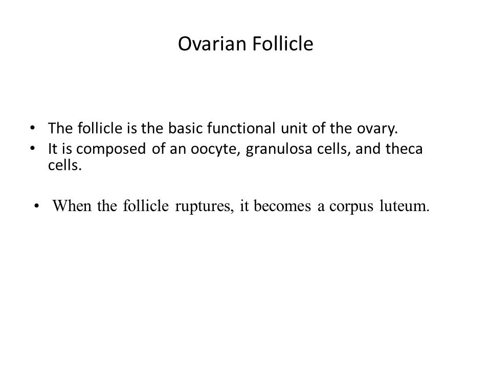 Ovarian Follicle The follicle is the basic functional unit of the ovary.