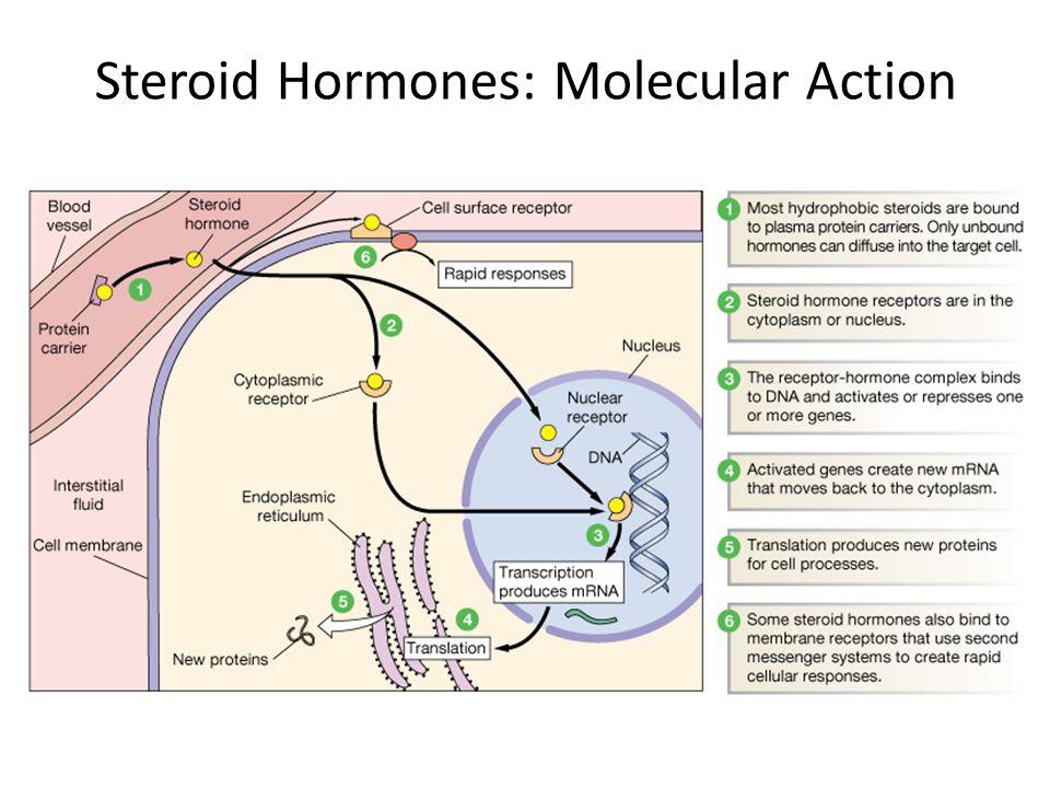 Steroid Hormones: Molecular Action