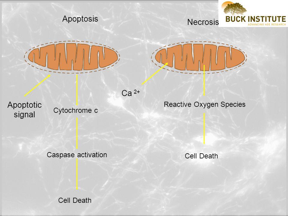 Plasma Membrane Outer Mitochondrial Membrane Inner Mitochondrial Membrane Putative BAx/Bid channel C Q 9-05 Death receptor Procaspase-8 Caspase-8 Bid t-Bid Bax * C Apaf-1 + Procaspase-9 Caspase-9 Activation of downstream effector caspases e.g.