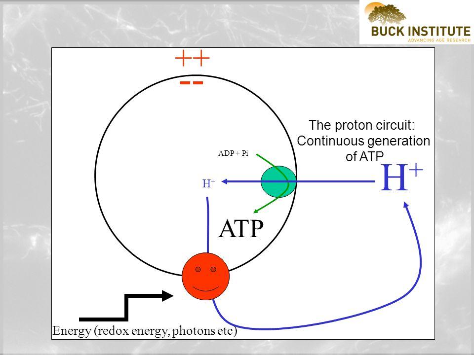 ATP ADP + Pi H+H+ H+H+ ATP hydrolysis