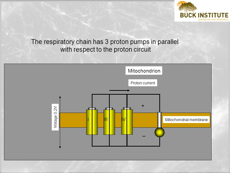 Electrical circuit Voltage 1.5V Electron current Mitochondrion Voltage 0.2V Proton current Mitochondrial membrane + _ + _ Mitochondria work like an electrical circuit.