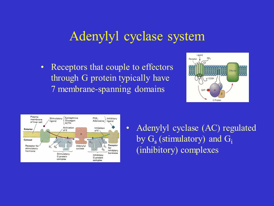 Adenylyl cyclase system Receptors that couple to effectors through G protein typically have 7 membrane-spanning domains Adenylyl cyclase (AC) regulated by G s (stimulatory) and G i (inhibitory) complexes