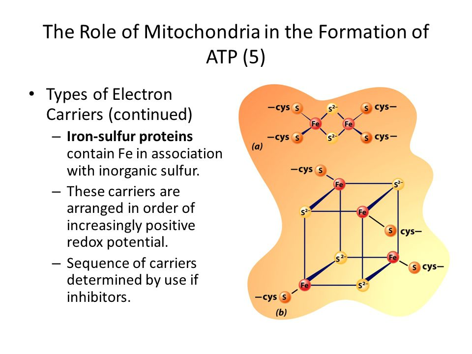 The Role of Mitochondria in the Formation of ATP (5) Types of Electron Carriers (continued) – Iron-sulfur proteins contain Fe in association with inor