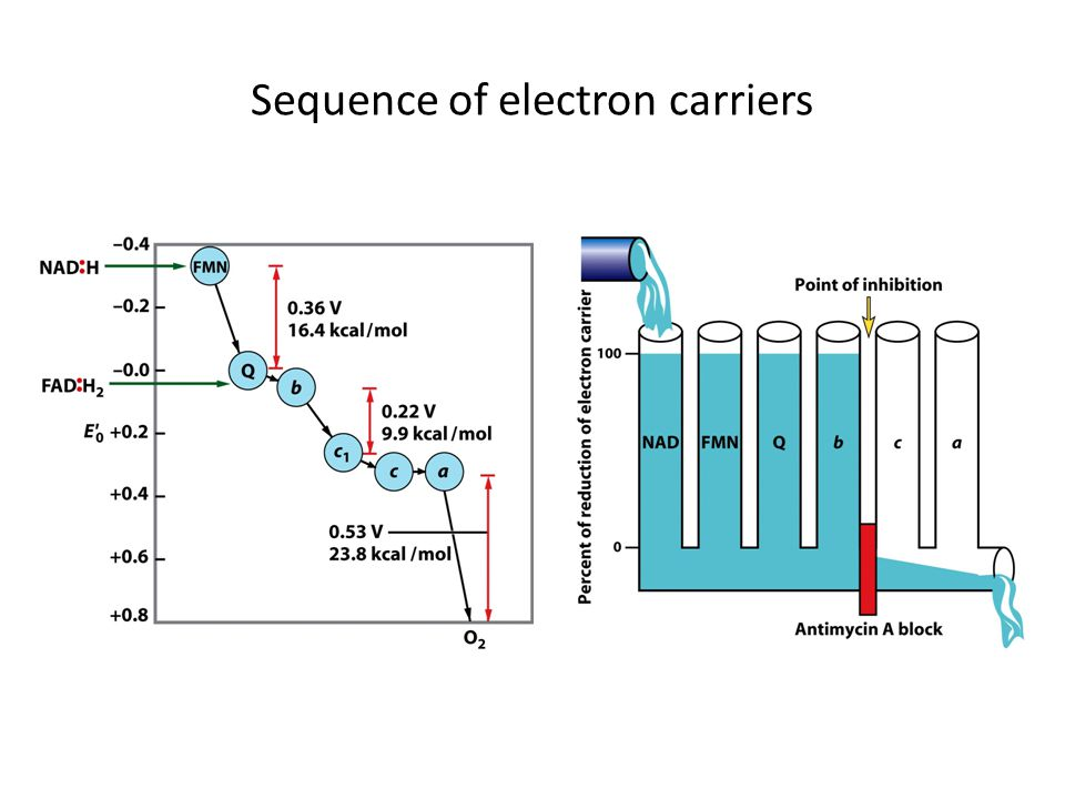Sequence of electron carriers