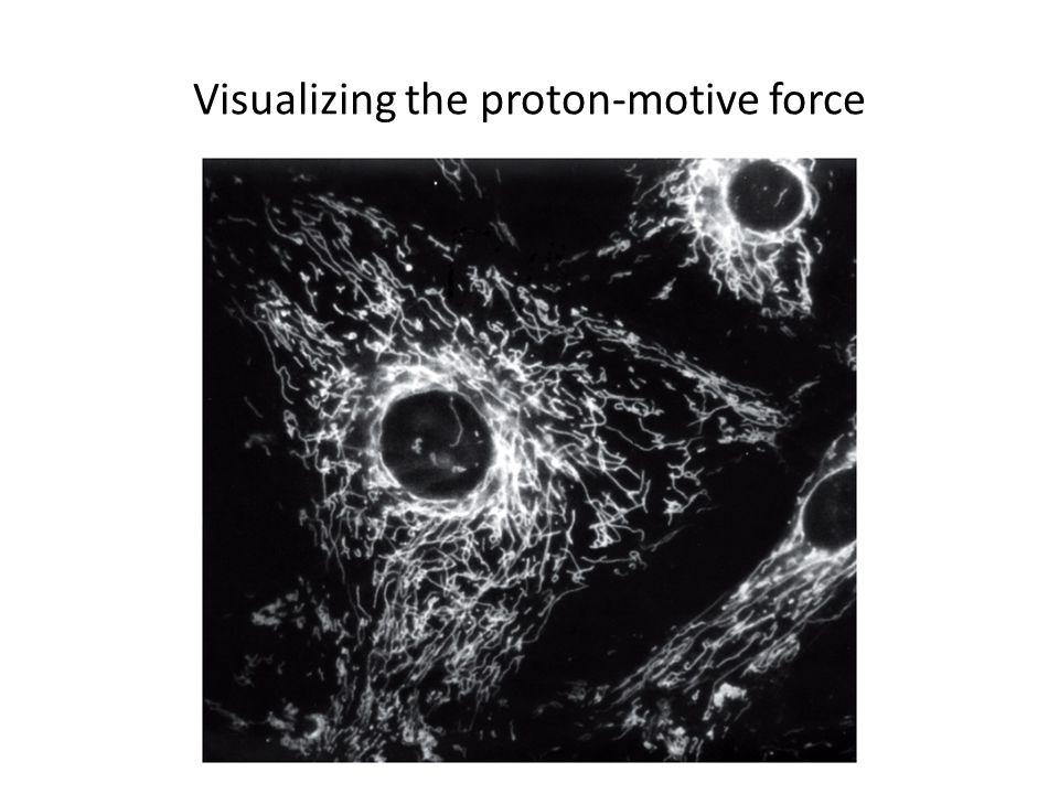 Visualizing the proton-motive force