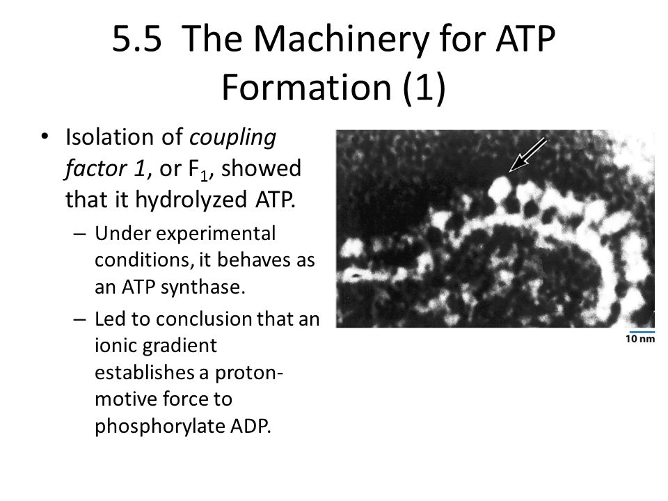 5.5 The Machinery for ATP Formation (1) Isolation of coupling factor 1, or F 1, showed that it hydrolyzed ATP. – Under experimental conditions, it beh