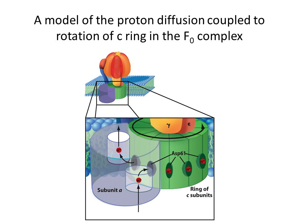 A model of the proton diffusion coupled to rotation of c ring in the F 0 complex