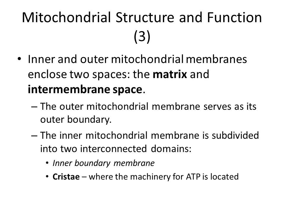 Mitochondrial Structure and Function (3) Inner and outer mitochondrial membranes enclose two spaces: the matrix and intermembrane space. – The outer m