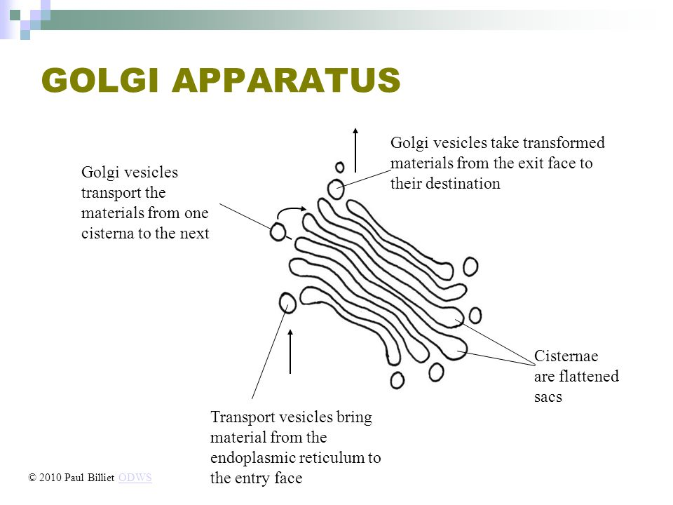 GOLGI APPARATUS Golgi vesicles transport the materials from one cisterna to the next Cisternae are flattened sacs Transport vesicles bring material from the endoplasmic reticulum to the entry face Golgi vesicles take transformed materials from the exit face to their destination © 2010 Paul Billiet ODWSODWS