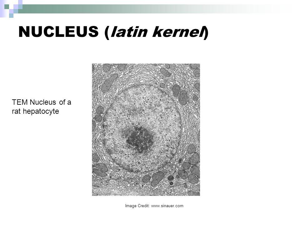 NUCLEUS (latin kernel) TEM Nucleus of a rat hepatocyte Image Credit: www.sinauer.com