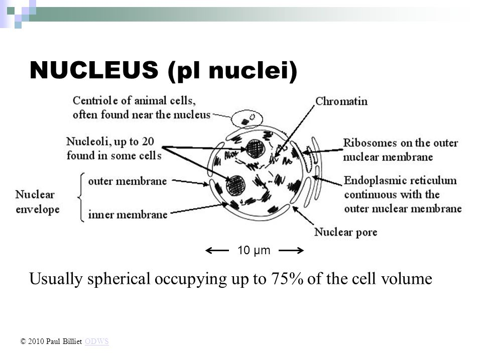 NUCLEUS (pl nuclei) Usually spherical occupying up to 75% of the cell volume 10 µm © 2010 Paul Billiet ODWSODWS