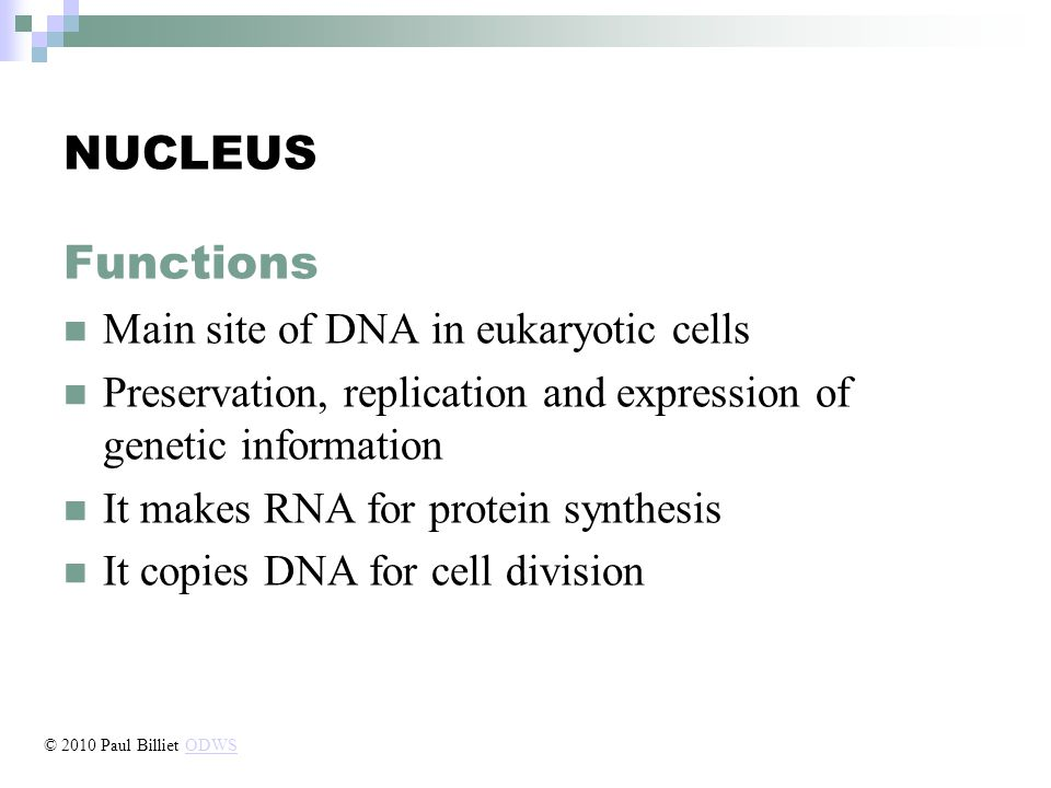 NUCLEUS Functions Main site of DNA in eukaryotic cells Preservation, replication and expression of genetic information It makes RNA for protein synthesis It copies DNA for cell division © 2010 Paul Billiet ODWSODWS