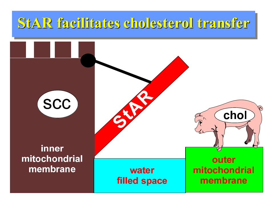 Steroidogenic Acute Regulatory Protein: StAR Essential for steroid hormone biosynthesis Cyclic-AMP dependent expression Facilitates cholesterol transfer across inner- mitochondrial (aqueous) space Translated as a 37 kDa precursor protein that is processed to the 30 kDa mature form as it translocates into the mitochondria Cholesterol transport activity depends on intact  m