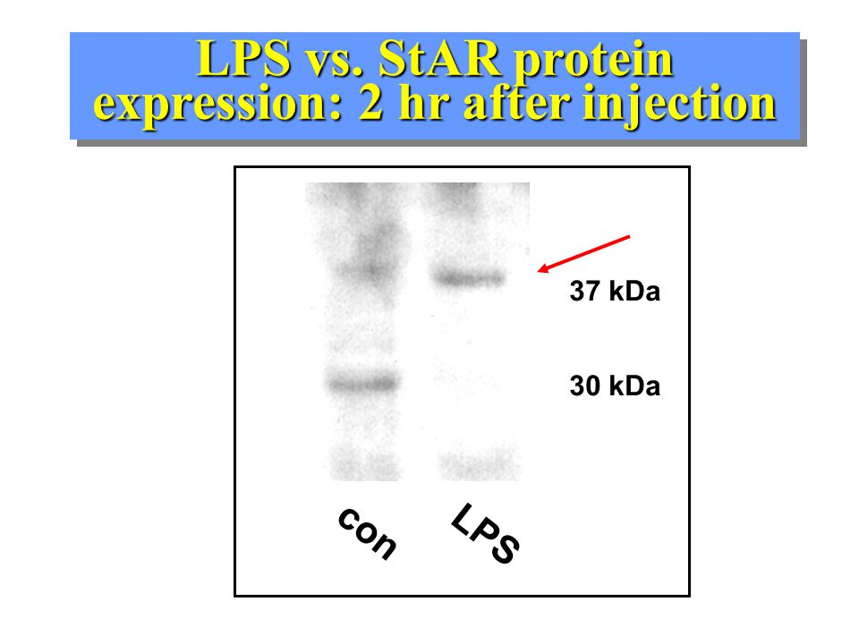 "What mediates the acute LPS inhibition? Tested numerous inflammatory mediators in Leydig cells in vitro-- none mimicked the acute LPS ""effect"" –cytoki"